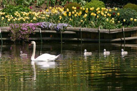 Swans_yellowtulips