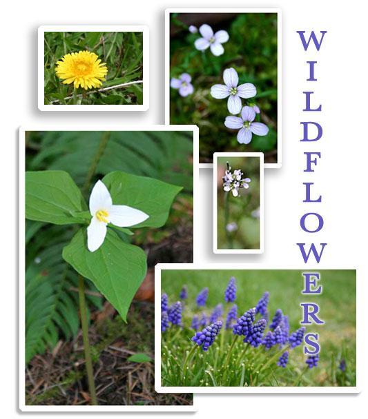 Wildflowersfl_2